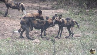 Lovable And Playful African Wild Dogs