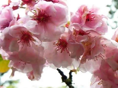臺灣櫻花15種品種 - YouTube