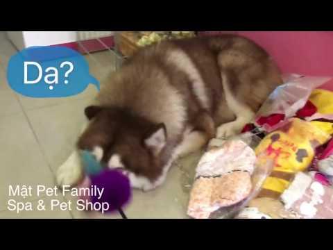 Thằng Mật phá bàn thờ thần tài, mắng mà mặt cứ lì ra - Mật Pet Family