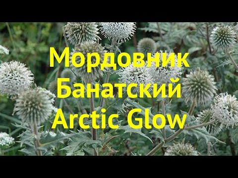 Мордовник банатский Арктик Глов. Краткий обзор, описание Echinops Bannaticus Arctic Glow