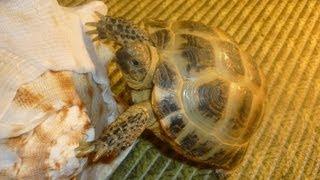 уход за черепахой(Небольшое видео которое будет полезно тем кто хочет завести или уже имеет черепашку. Более подробные сведе..., 2013-08-16T04:34:48.000Z)