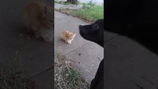 Baby Kitten-- Kitten and Puppy Meet for First Time