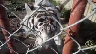 """Тигр """"Теодор"""""""