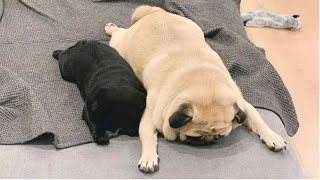 AWW SOO Cute and Funny Pug Puppies  Funniest Pug Ever #7