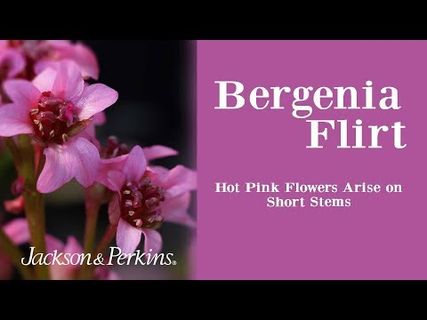 Bergenia Flirt With Hot Pink Blooms