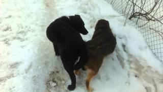 Собаки совокупляки