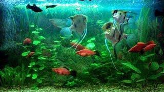 Аквариумные рыбки, скалярии и гуппи в большом домашнем аквариуме. 100 литров.(Аквариумные рыбки, скалярии и гуппи в большом домашнем аквариуме. 100 литров - в этом видео я покажу вам аквар..., 2016-01-21T06:44:58.000Z)
