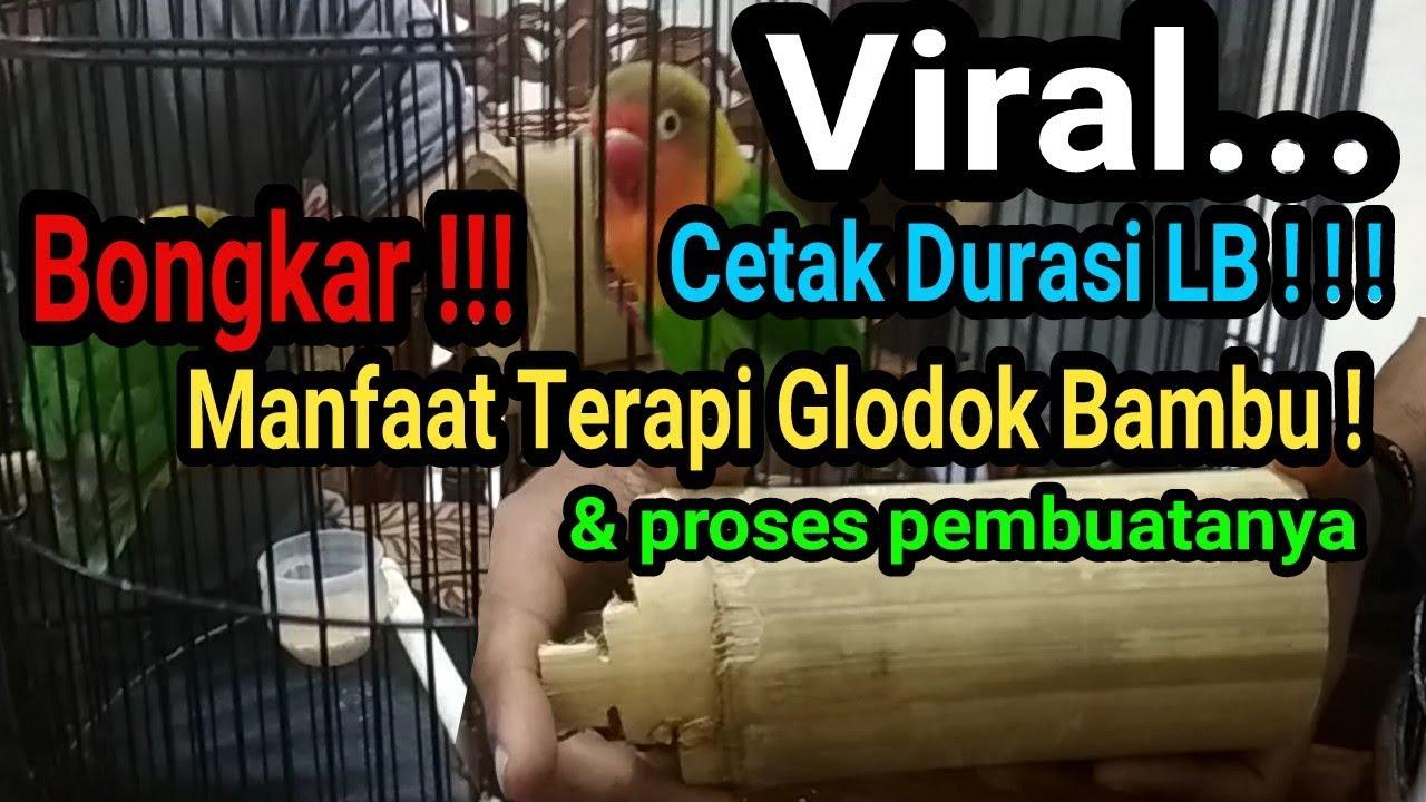 Glodok Bambu Inilah Manfaat Terapi Glodok Bambu Untuk Lovebird Youtube
