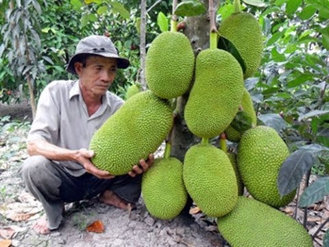 Mit Khong Hat - Kỹ thuật trồng và chăm sóc mít không hạt