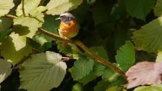 Common Redstart (Phoenicurus phoenicurus ♂) / Gartenrotschwanz