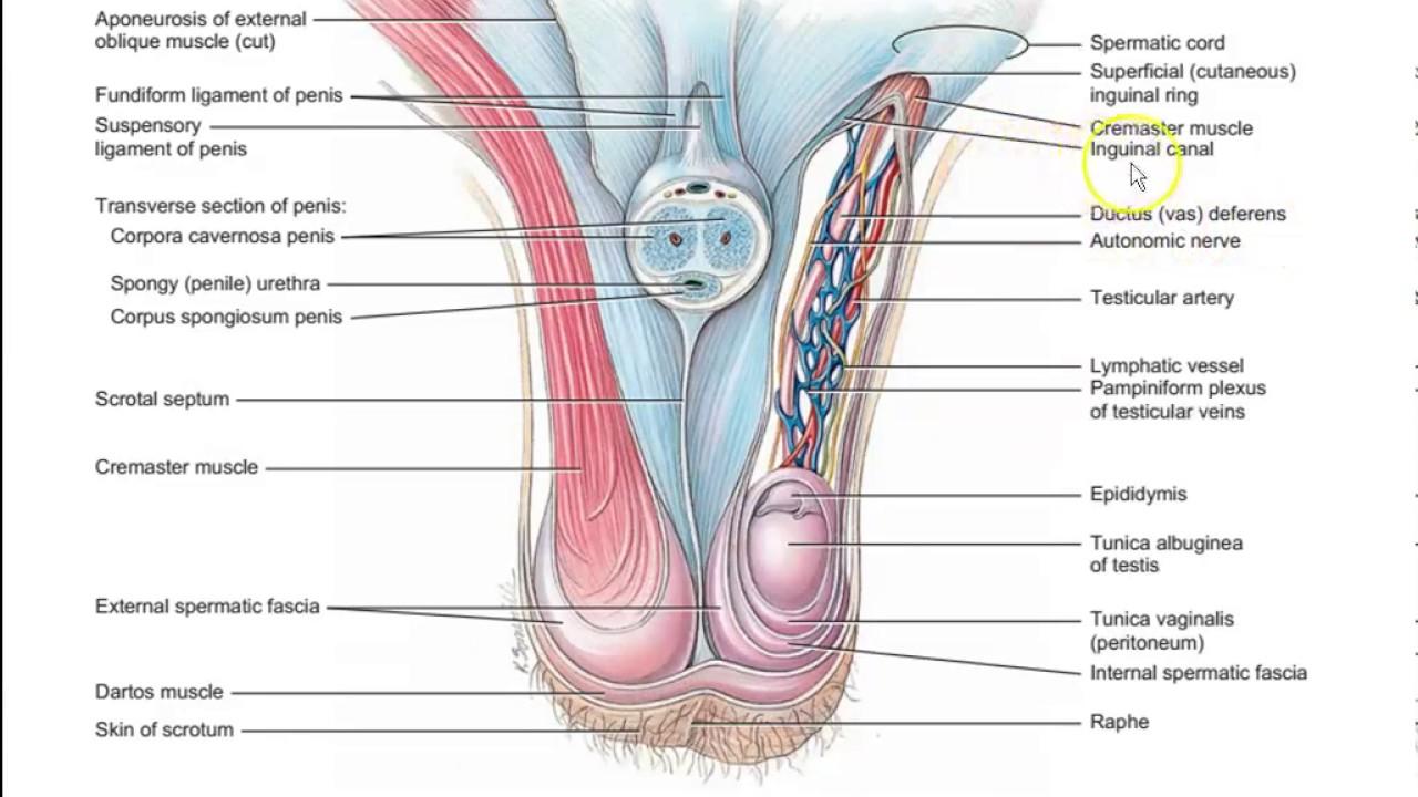 Ausgezeichnet Hai Muskelanatomie Bilder - Anatomie Und Physiologie ...