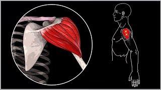 БОЛИТ ПЛЕЧО 🔴 Дельтовидная мышца: анатомия, функции, триггерные точки, упражнения ⭐ SLAVYOGA
