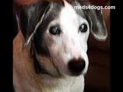 Cataract In Dogs Eyes