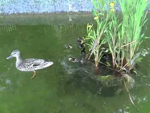 1 mama duck with 11 baby ducks near the SUB Goettingen, Germany