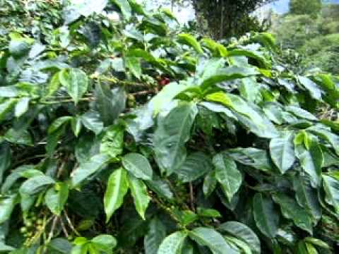 Coffee Plantations in Takengon Aceh