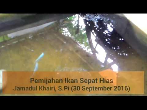 Pemijahan ikan sepat hias - YouTube