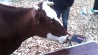 прикол с коровой(до конца)