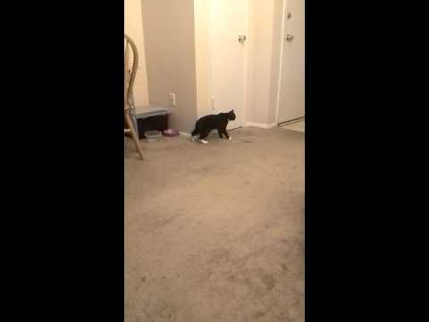 Manx Syndrome Cat Walking
