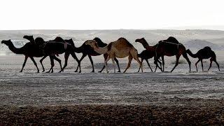 Граница разделила катарских верблюдов и их хозяев (новости)