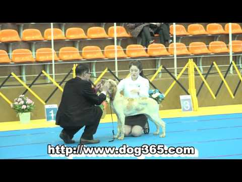 …2016.02.20.KKF NAMICHEON DOG SHOW-Bracco Italiano