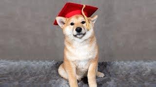 Shiba Graduates Puppy School!