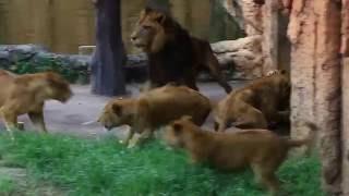 Female lions battle.メスライオンの闘い(痛々しい)