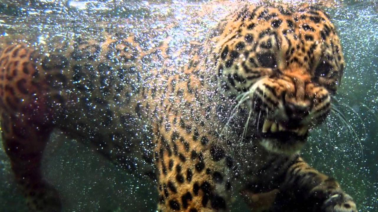 The Jaguar Coming The Louisville Zoo