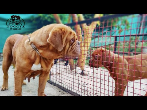 French Mastiff || Dogue De Bordeaux ||  Pride of Doggyz World