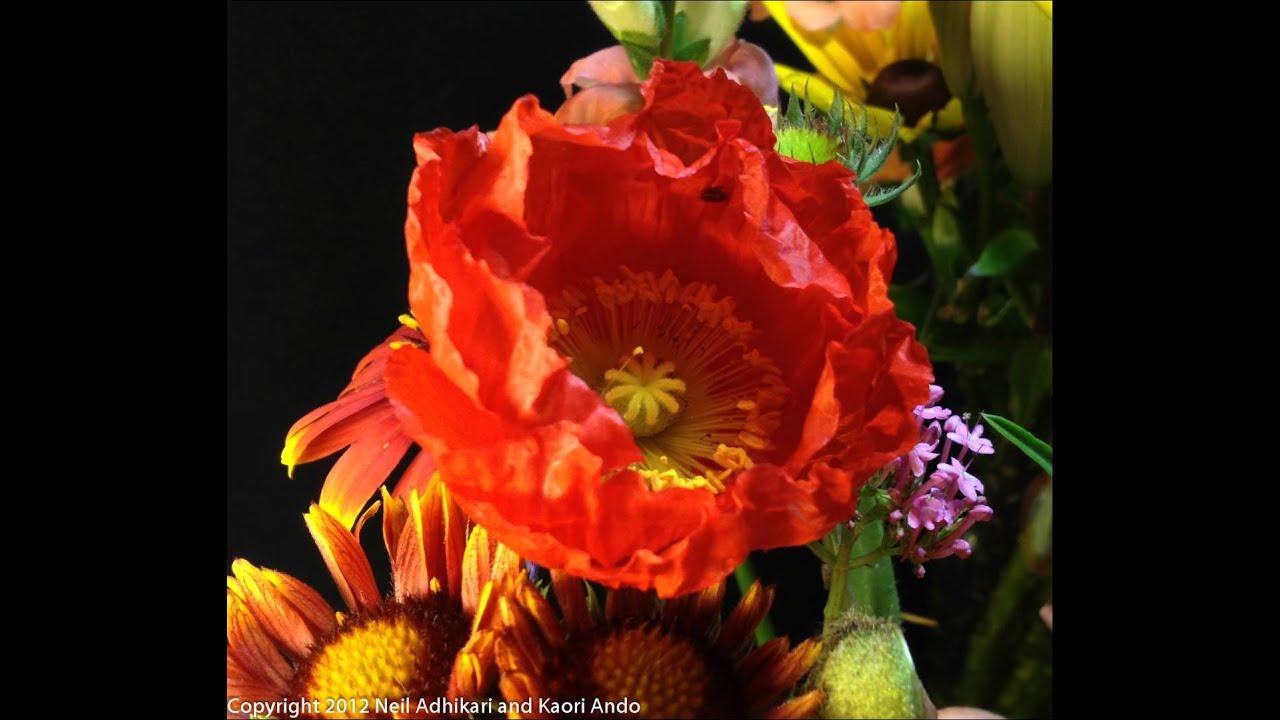 Orange Yellow Poppy Flower 2 Popping Open Time Lapse Youtube