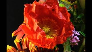 Orange-Yellow Poppy Flower (2) Popping Open Time-lapse