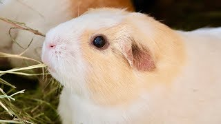Guinea pigs videos / InfiniTube