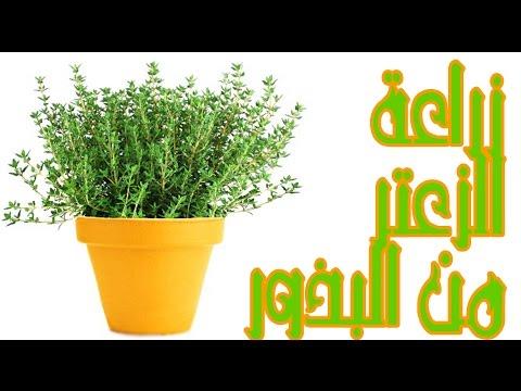 زراعة الزعتر | من البذور | thumbnail