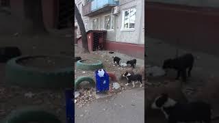 Благовещенка просит помощи в устройстве собаки с девятью щенками