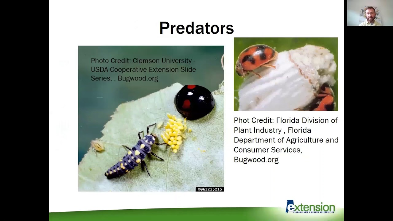 Insect Pests of Ornamental Plants Slide Show
