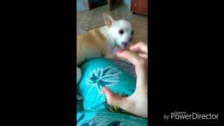 Чихуахуа разозлила хозяйку. Надоело гладить собаку. Ужасная ссора!