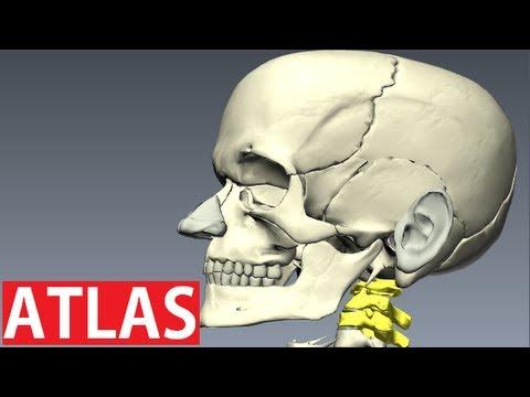 Atlas Anatomy - Cervical Vertebrae Anatomy - Neck Anatomy - YouTube