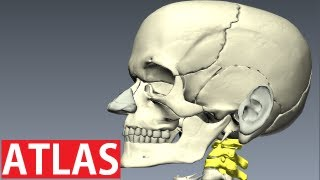 Atlas Anatomy - Cervical Vertebrae Anatomy - Neck Anatomy