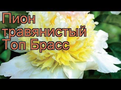 Пион травянистый Топ Брасс (paeonia top brass) 🌿 обзор: как сажать, рассада пиона Топ Брасс