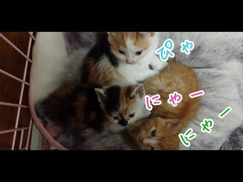 子猫の鳴き声がひとりだけ個性的でかわいい件 Kitten's voice is only slightly unique and cute