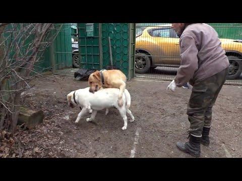Палевые лабрадоры  Джолл и Джесс Свадьба Meeting  Labradors Jolla And Jess