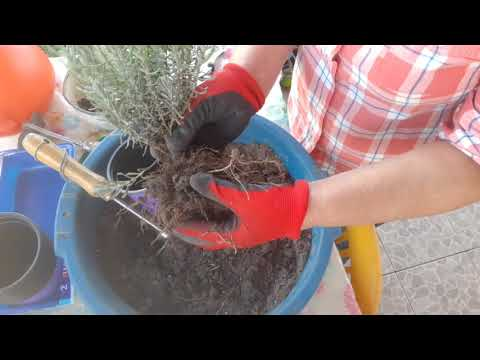 Вопрос: Как посадить лаванду?