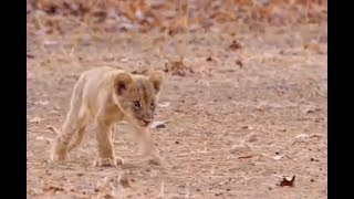 Lioness ignores her injured cub misfit, won't feed him