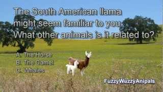 Llama Animal Quiz For Kids
