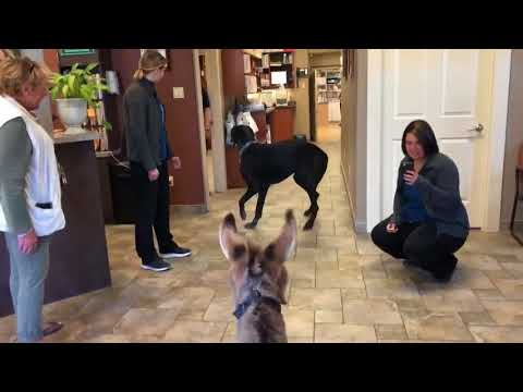 Tiny Tim the Donkey Meets a Friend at the Vet
