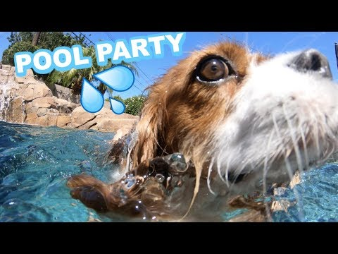 CAVALIER KING CHARLES POOL PARTY