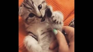 Котенок полосатый вислоухий мальчик