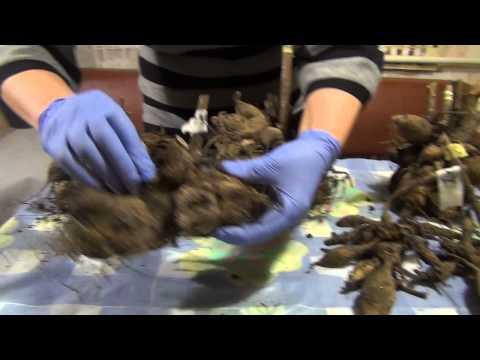 Подготовка клубней георгин к посадке ч.1 Preparation dahlia tubers for planting Part 1