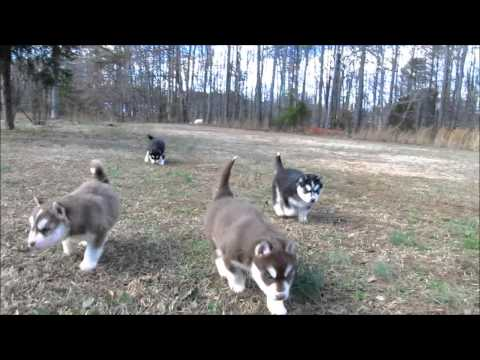 My Siberian Husky Kennels.. Ruby's Pups (2013)