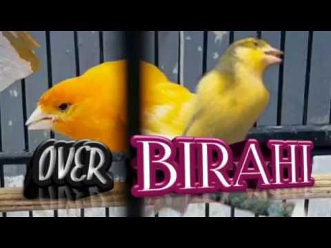 Download Lagu 8 Cara atasi burung Kenari Over Birahi dengan Cepat dan Mudah
