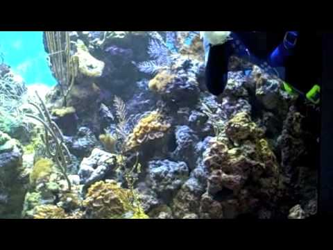 Behind the Scenes: Caribbean Coral Reef Tank Cleaning | California Academy of Sciences